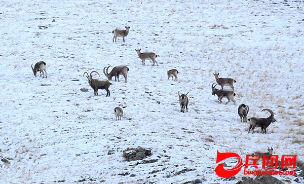 新疆博州:野生保护动物数量逐渐增多