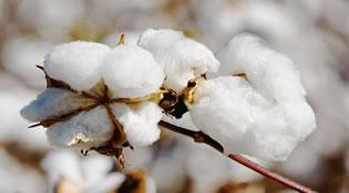 一師棉麻公司銷售皮棉30多萬噸 營業收入近40億元