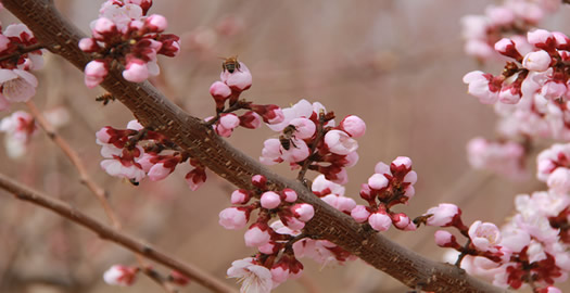 吐魯番市迎來杏花觀賞季