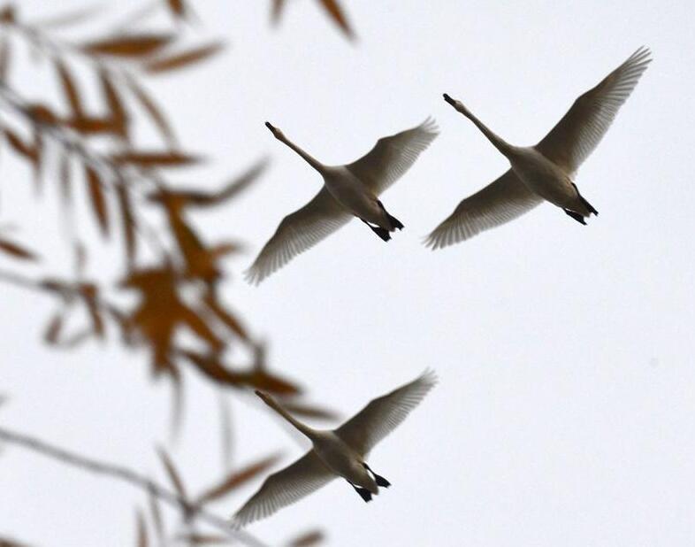天鵝舞動孔雀河畔