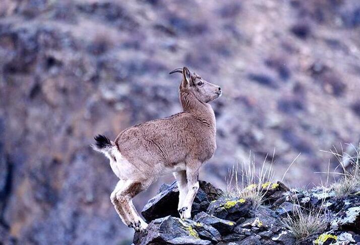 富蘊縣:在懸崖峭壁上行走的精靈