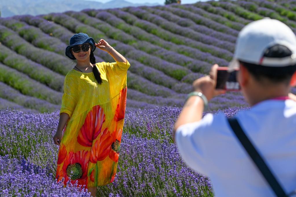 新疆是個好地方 新疆霍城:紫色花海綻放